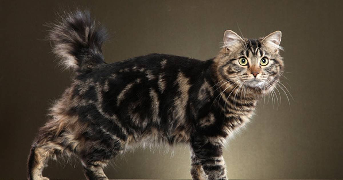 12 Reasons To Love The American Bobtail