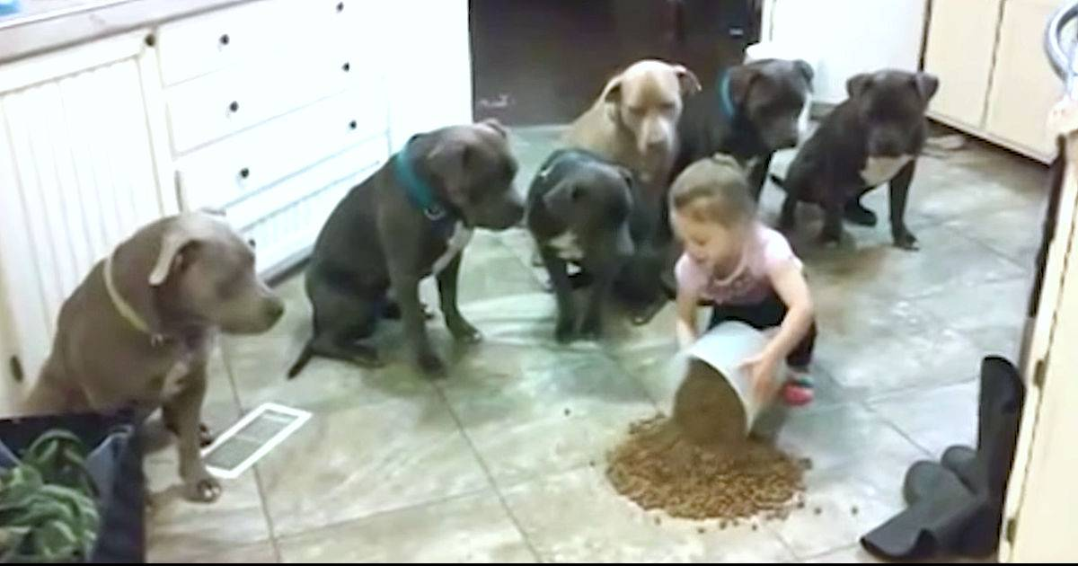 4-Year-Old Dumps Kibble On Kitchen Floor And Tells Mom To Watch The Hungry Pit Bulls