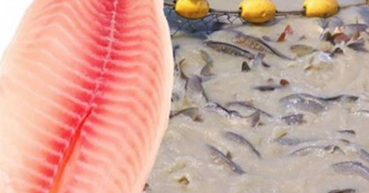 Proven Health Risks Might Urge You To Quit Eating Cultured Tilapia Immediately