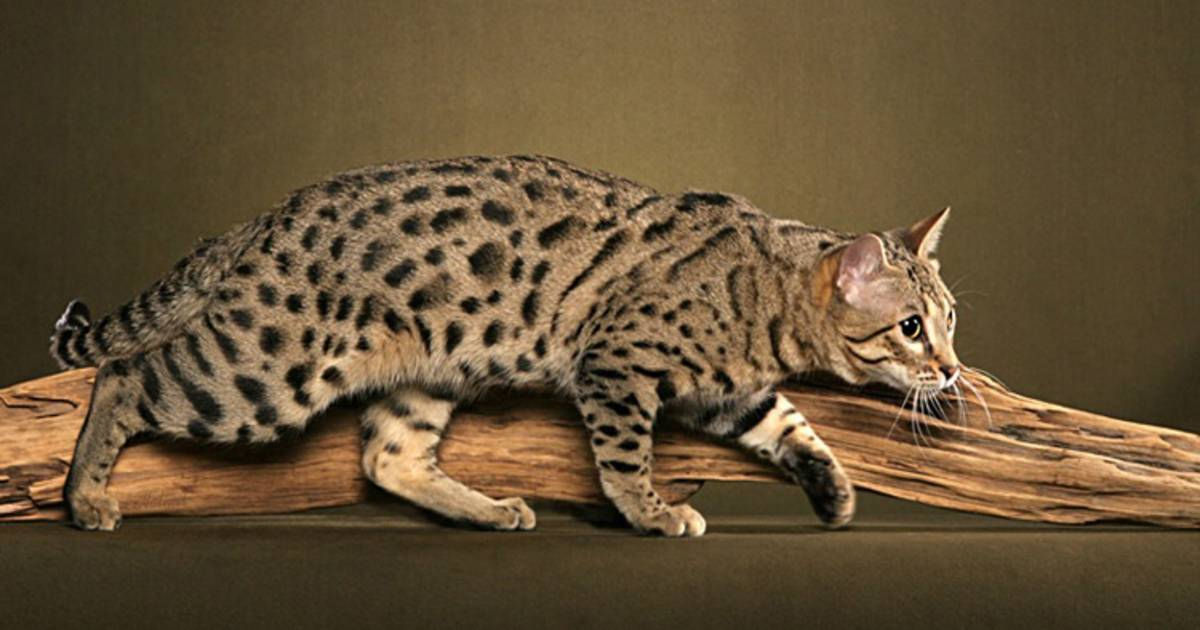These Exotic Cat Breeds Will Leave You Purring