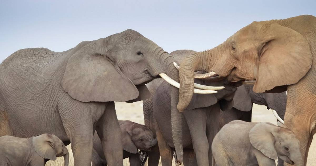Wonders Of The World: Elephants, 10 Facts About These Amazing Animals That You May Not Know.