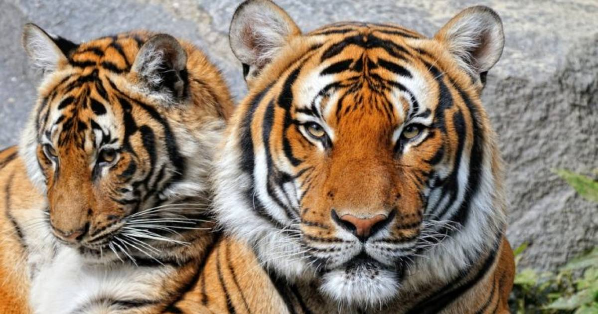 Wonders of The World: Tigers, 10 Great Facts About Them