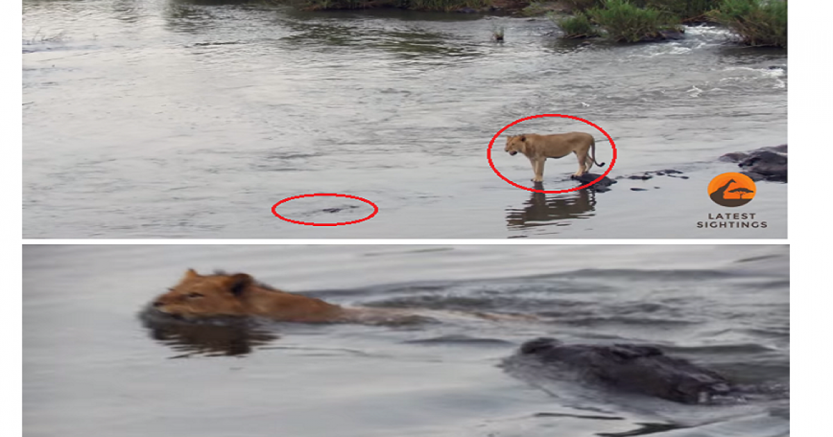 See What Happens Next When Crocodile Attacks A Male Lion Crossing A River.