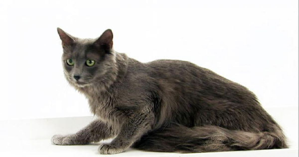 Nebelung Cats: Long Haired Russian Blues