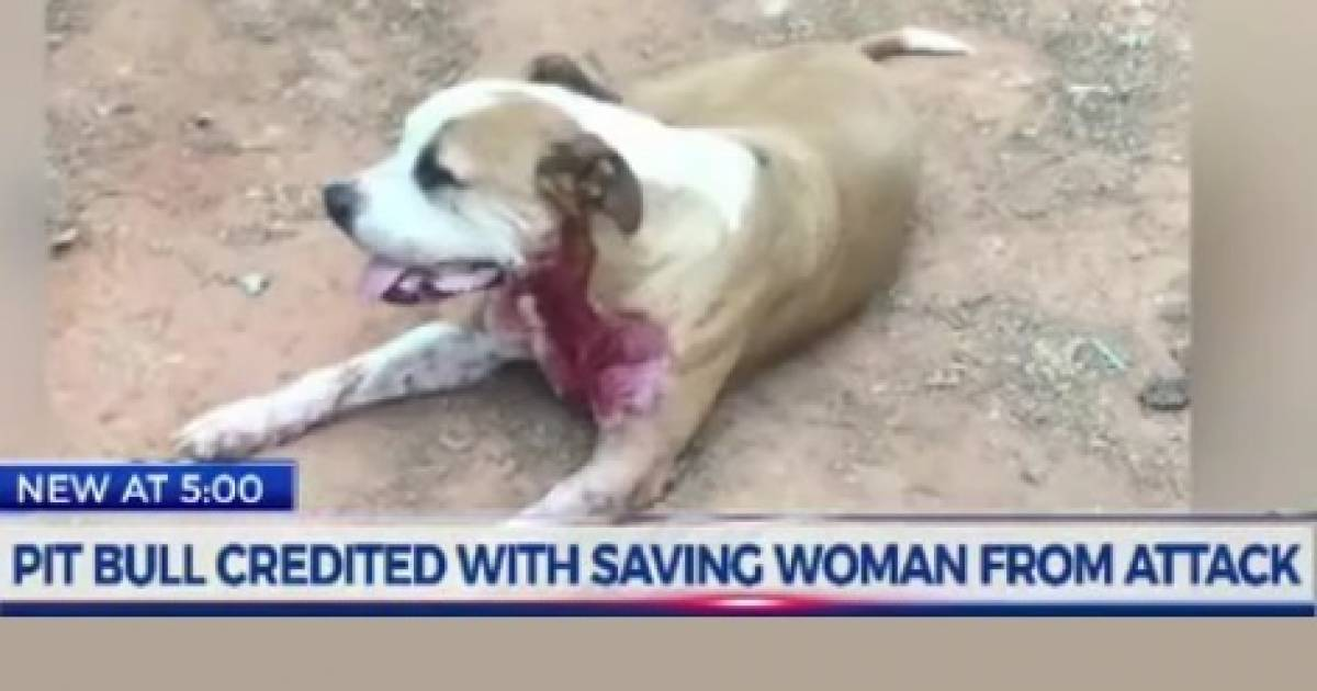 'Hero' Stray Pitbull Stabbed Multiple Times While Saving Woman From Brutal Attack
