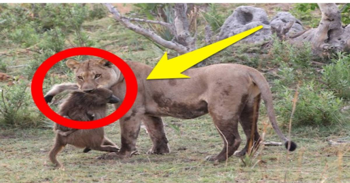 Lioness Killed Baboon. What She Did With The Baby Is Shocking