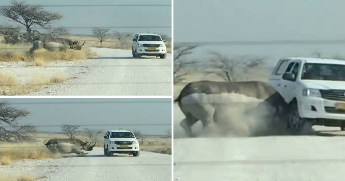 Wild Rhino Runs And Attacks A Car