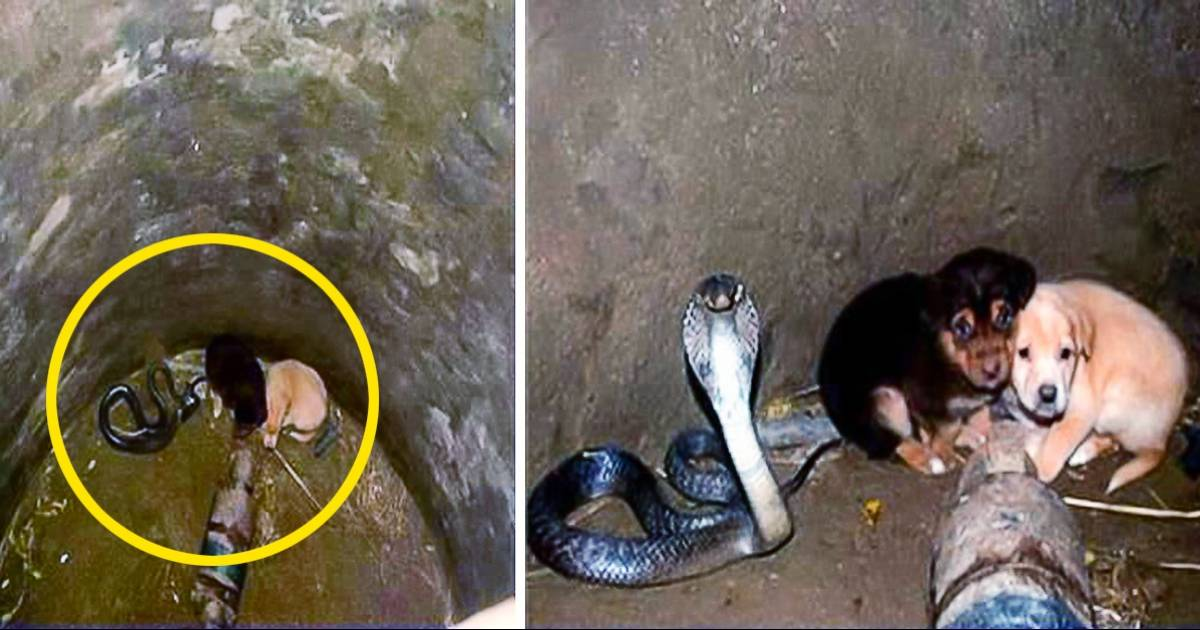Two Puppies Fall Into A Deep Well With A King Cobra. Locals Were Surprised At The Snake's Behavior