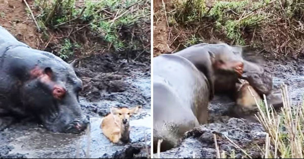 Hippo Saves Antelope Then Mistakes It For An Attacking Wild Dog