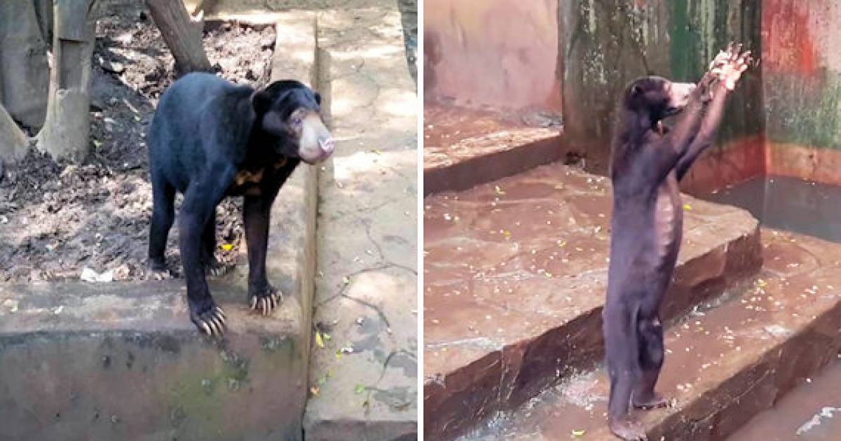 Starving Bears At Zoo Begging For Food Sparks Outrage