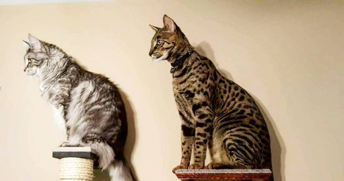 Proud Cat Parent Holds Two Guinness World Records.