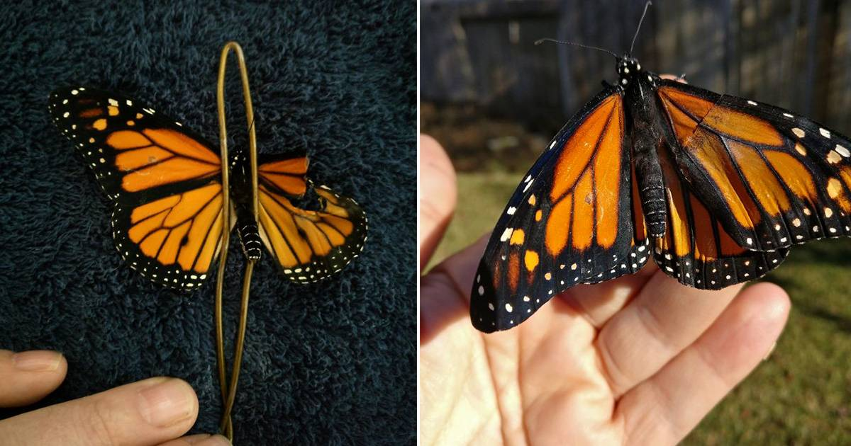 Woman Performs Surgery On A Butterfly With Broken Wings Next Day It Surprises Her In The Coolest Way