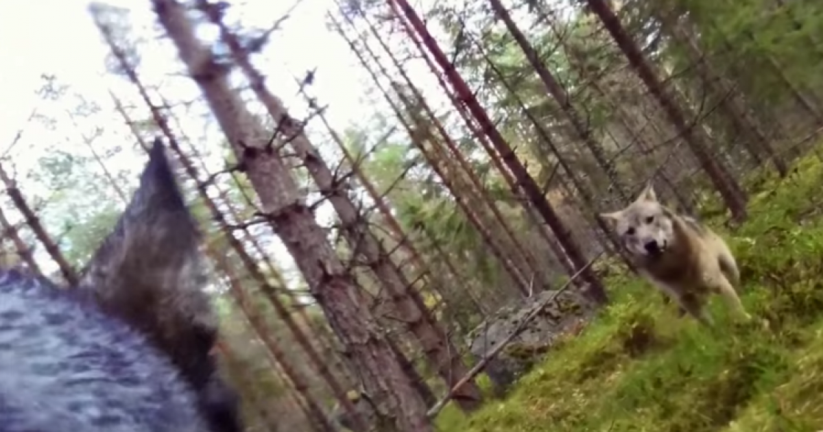 What A Wolf Attack Looks Like: Dog Wearing GoPro Is Attacked By Wolves