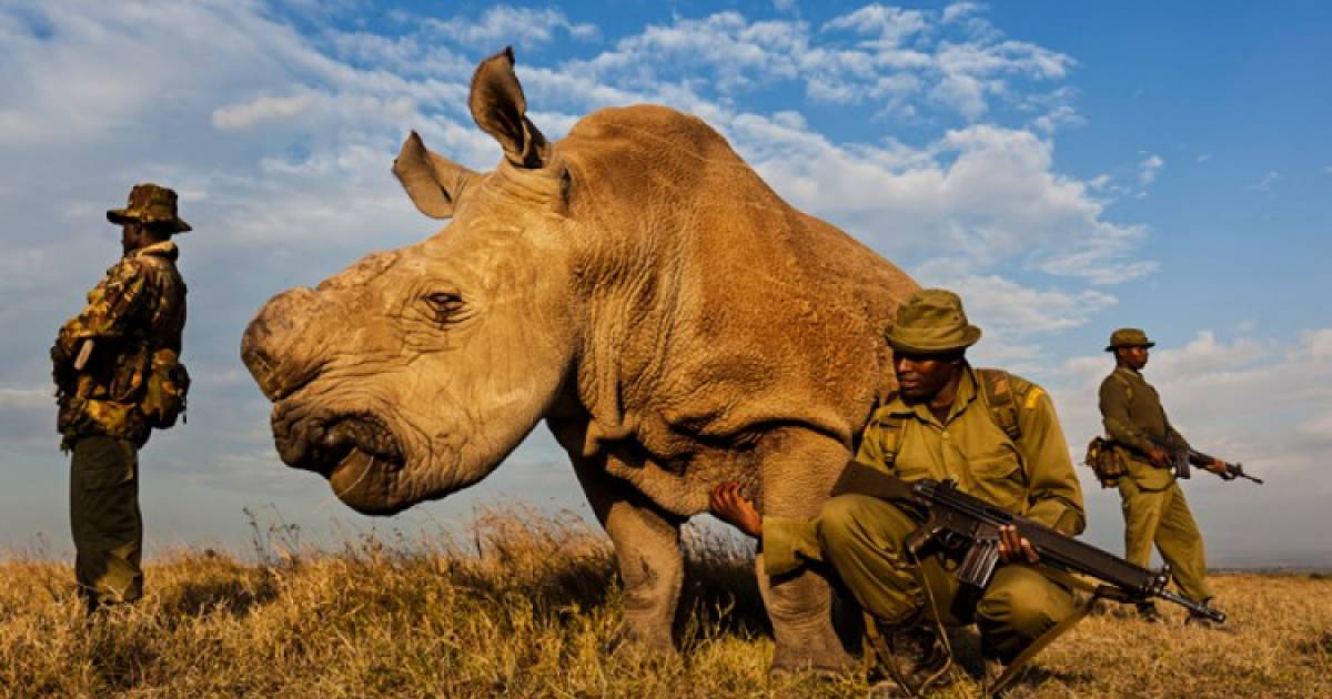 "World's Last Male Northern White Rhino Dies In Kenya, Bringing About ""Huge Extinction Crisis"""