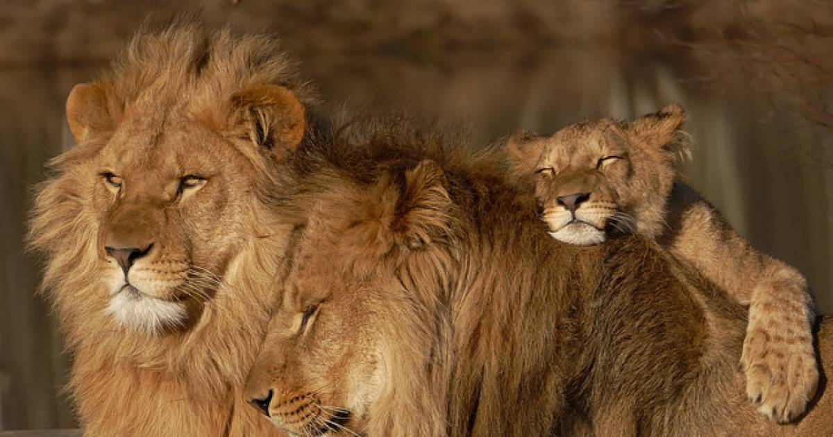 Wonders Of The World: 8 Amazing Facts About Lions