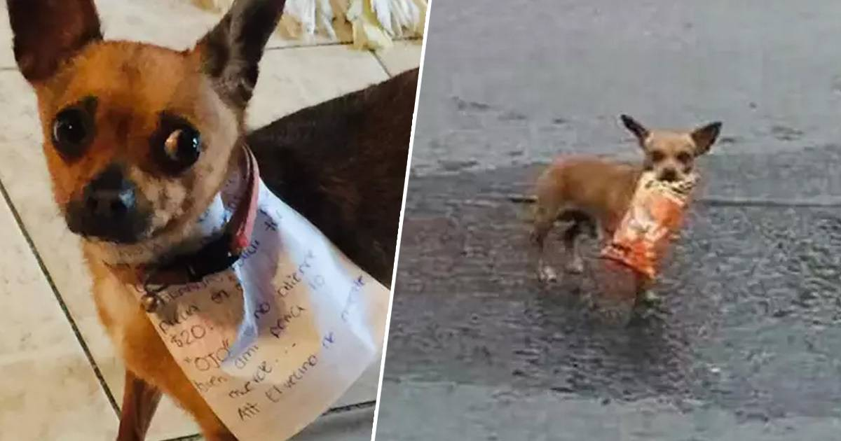 Guy In Quarantine Lockdown Sends His Chihuahua To Get Cheetos From The Local Shop