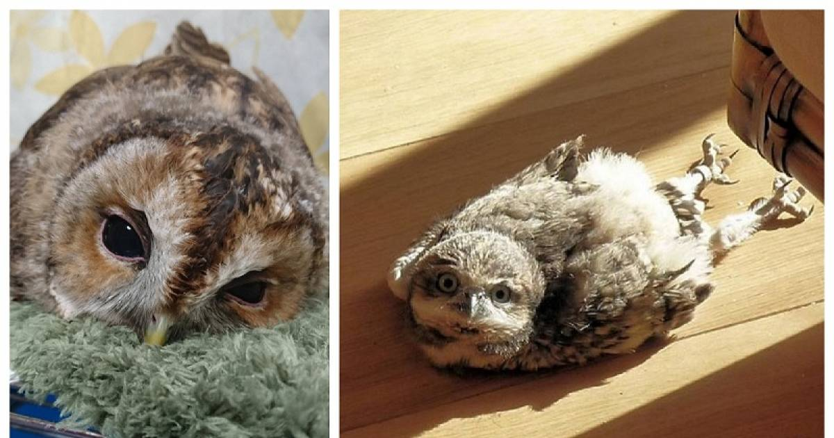 Owls Sleep In The Most Adorable Face Down Position And We Bet You Have Never Seen One Sleeping