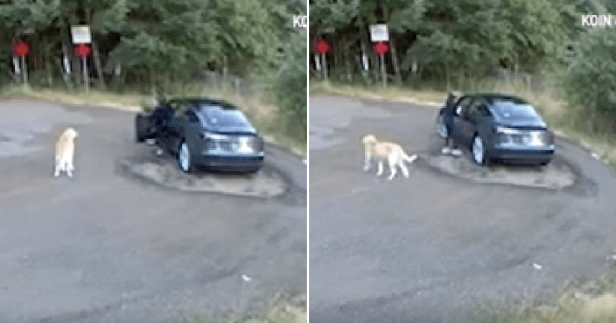 Heartrending Footage Shows Golden Retriever Abandoned At The Roadside By Its Owner