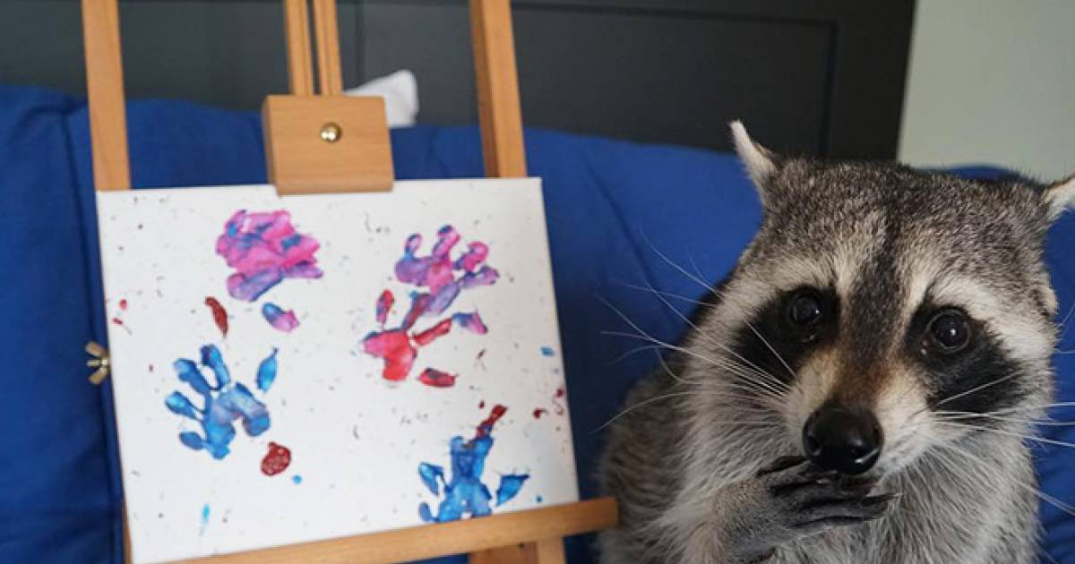 Meet Tito The Raccoon, An Artist Who Creates Paintings With His Adorable Little Paws