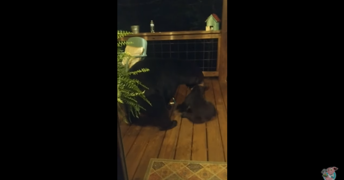 Adorable Video Shows Mama Bear Scolding Her Little Cub For Peeking Into This Woman's Window