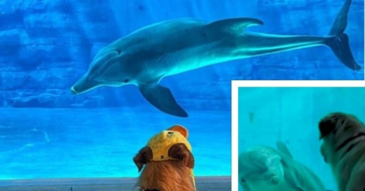Golden Retriever Becomes Best Friend With Winter, The Dolphin, At Florida Aquarium