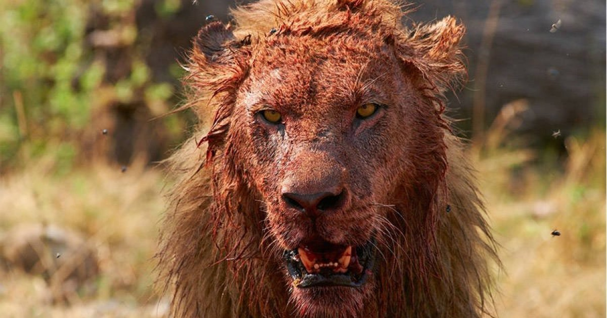 South African Lions Kill And Eat Suspected Poacher – Leave Only His Head