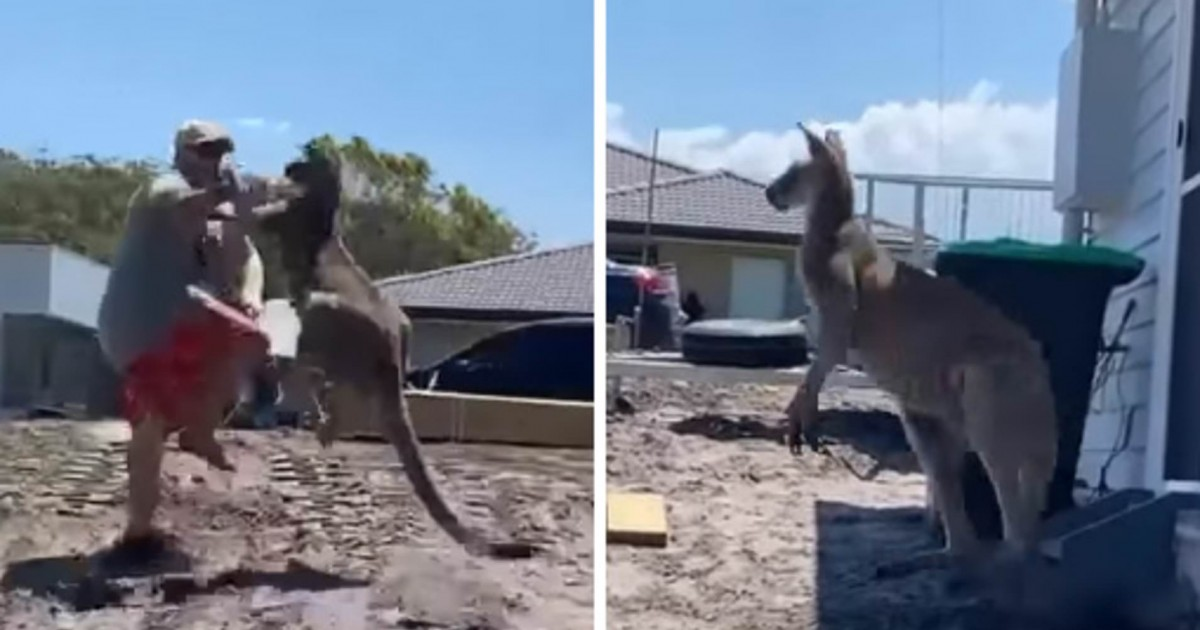 Bizarre Moment: A Dad Gets Punched And Kicked By Kangaroo As He Tries To Defend Children