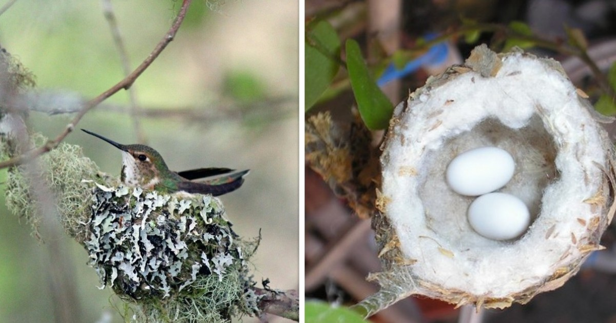 Hummingbird Nests Are As Small As A Thimble And Have The Highest Mass-Specific Metabolic Rate