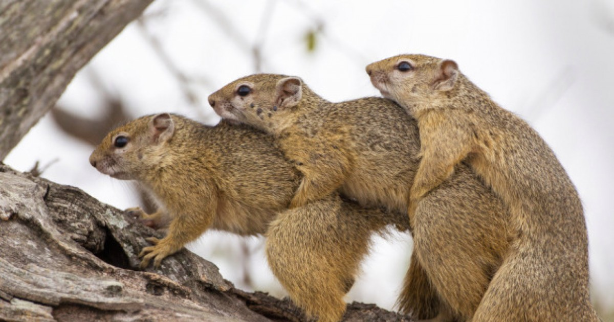Squirrels' Tree-Some. Three Sex-Mad Squirrels Caught In The Act In A Hilarious Snap