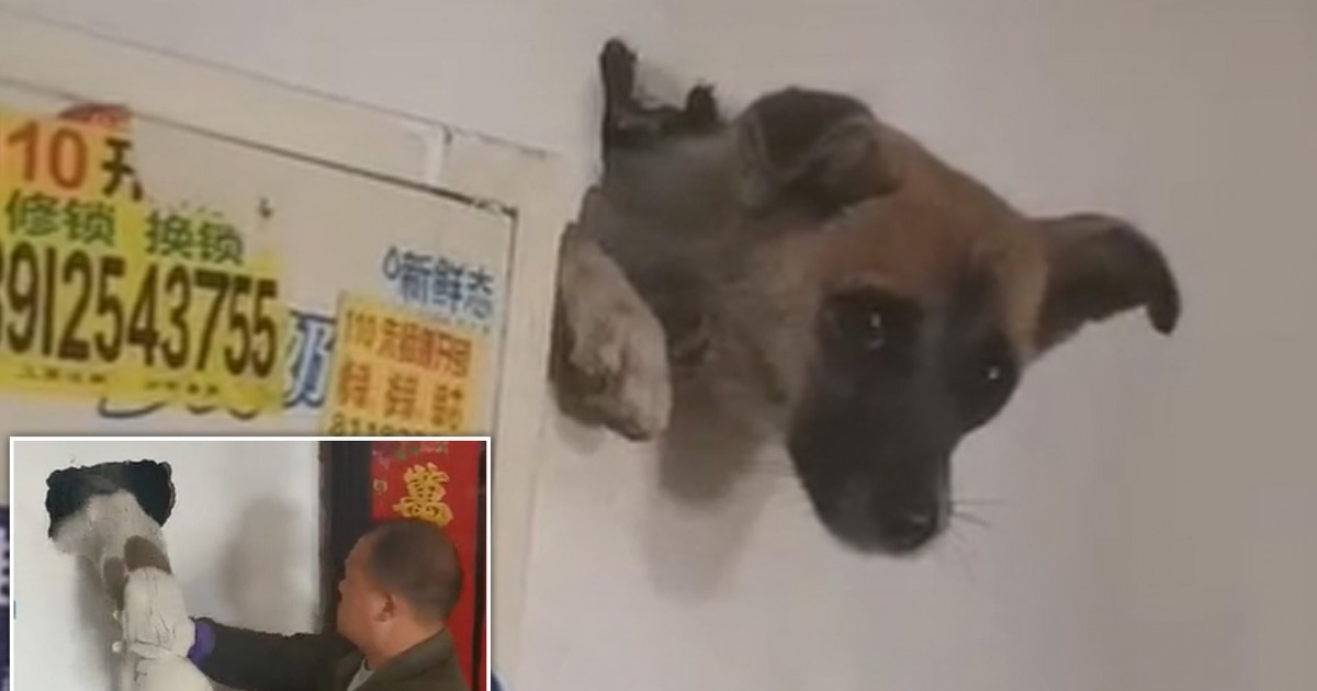 Dog Gets Trapped In A Wall While Trying To Hide From Firecracker Bangs