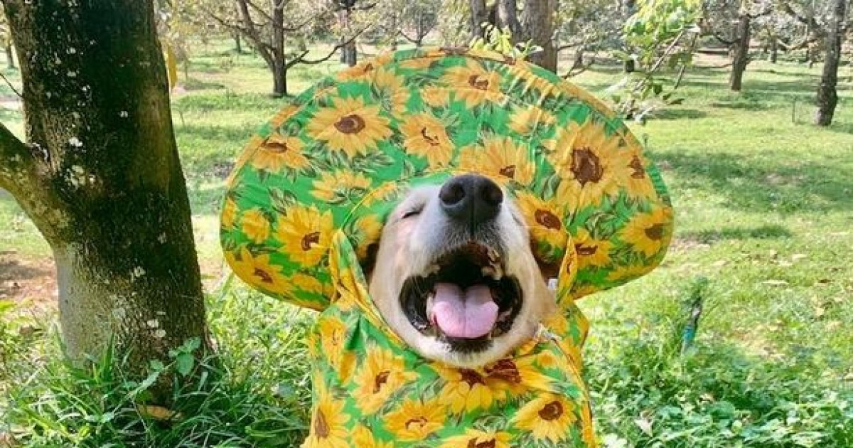 Golden retriever Becomes Online Sensation For Selling Fruits On His Family's Farm In Adorable Outfits