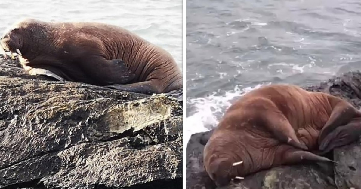 Arctic Walrus Takes A Nap On An Iceberg, Wakes Up In Ireland For The First Time In 17 Years