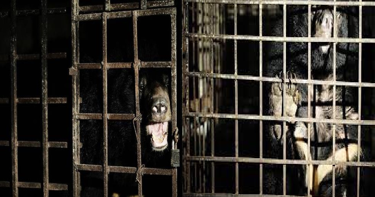 Bears Rescued From A Horrific Bile Farm In Vietnam After 17 years