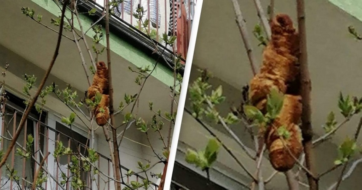 Krakow Locals Terrified By A Creepy Golden Brown Monster Lurking In Their Tree Finds Out It Was Just An Innocent Croissant