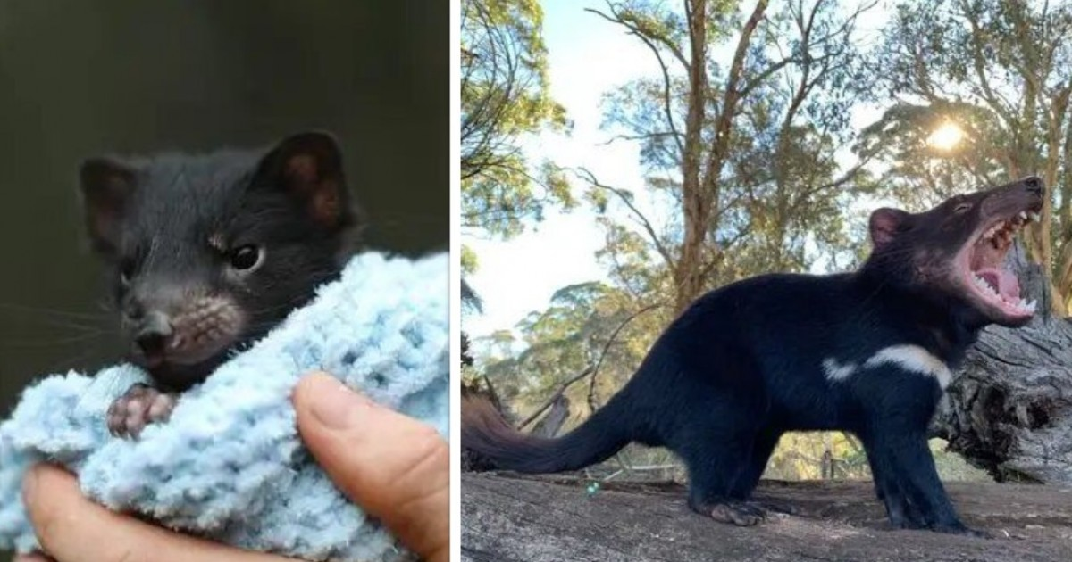 Wild Tasmanian Devils Born In Australia For The First Time In 3,000 Years