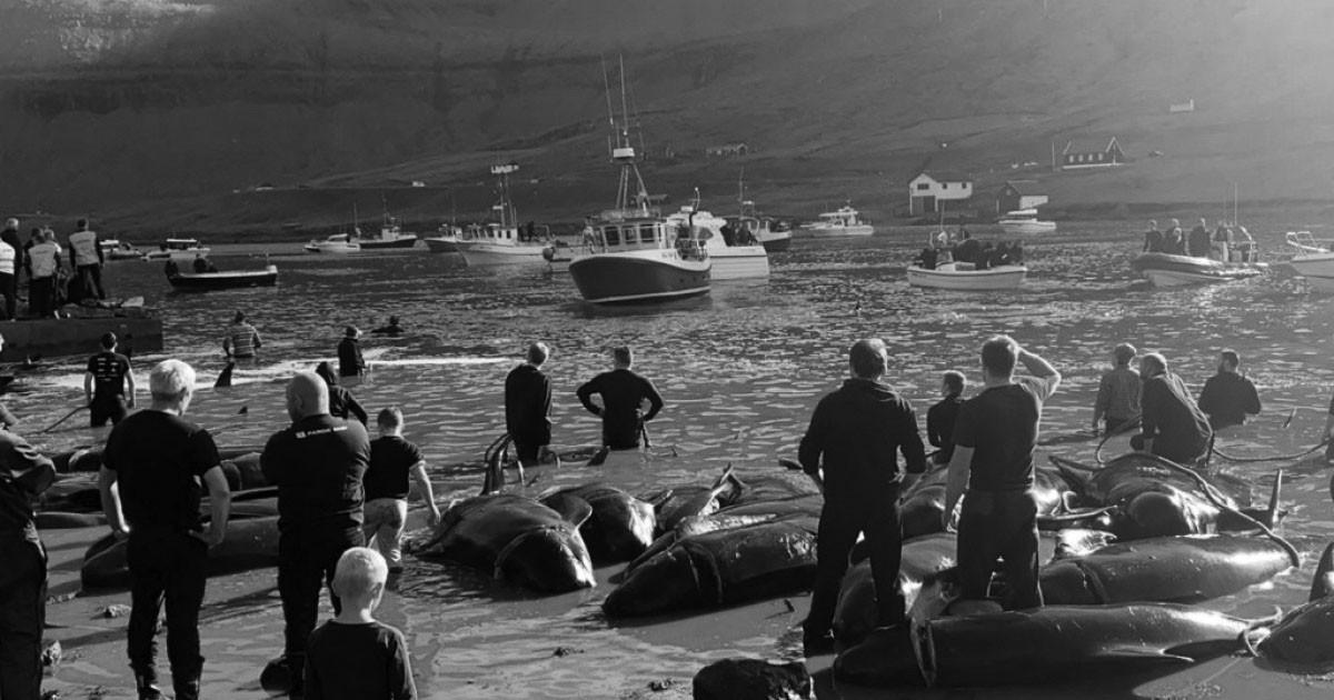 Heartbreaking: Faroe Islands Slaughter Hundreds of Whales In Cruel Tradition