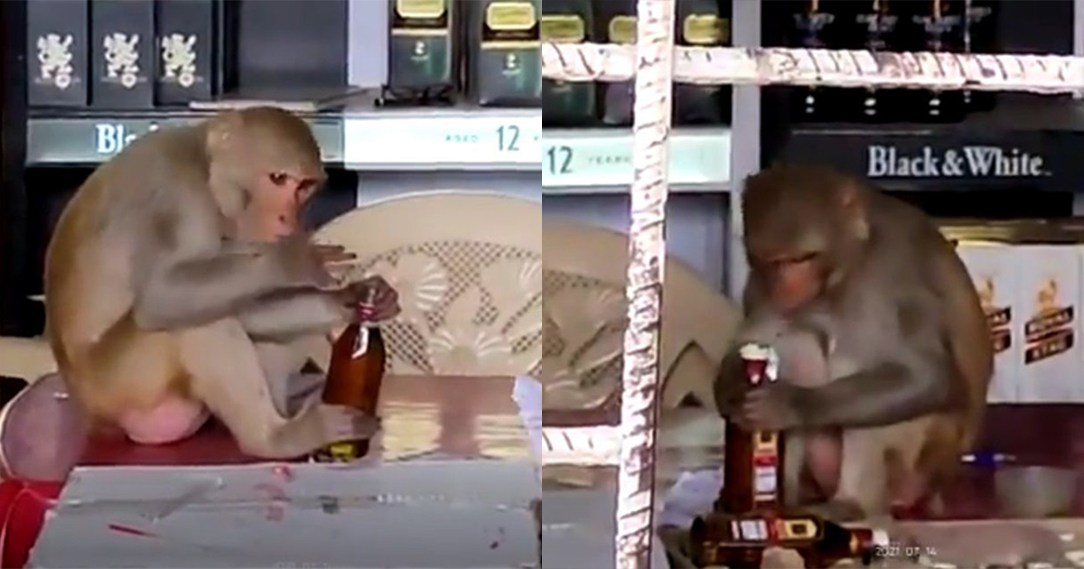 Monkey Jumps Into Shop, Steals Booze And Drinks It