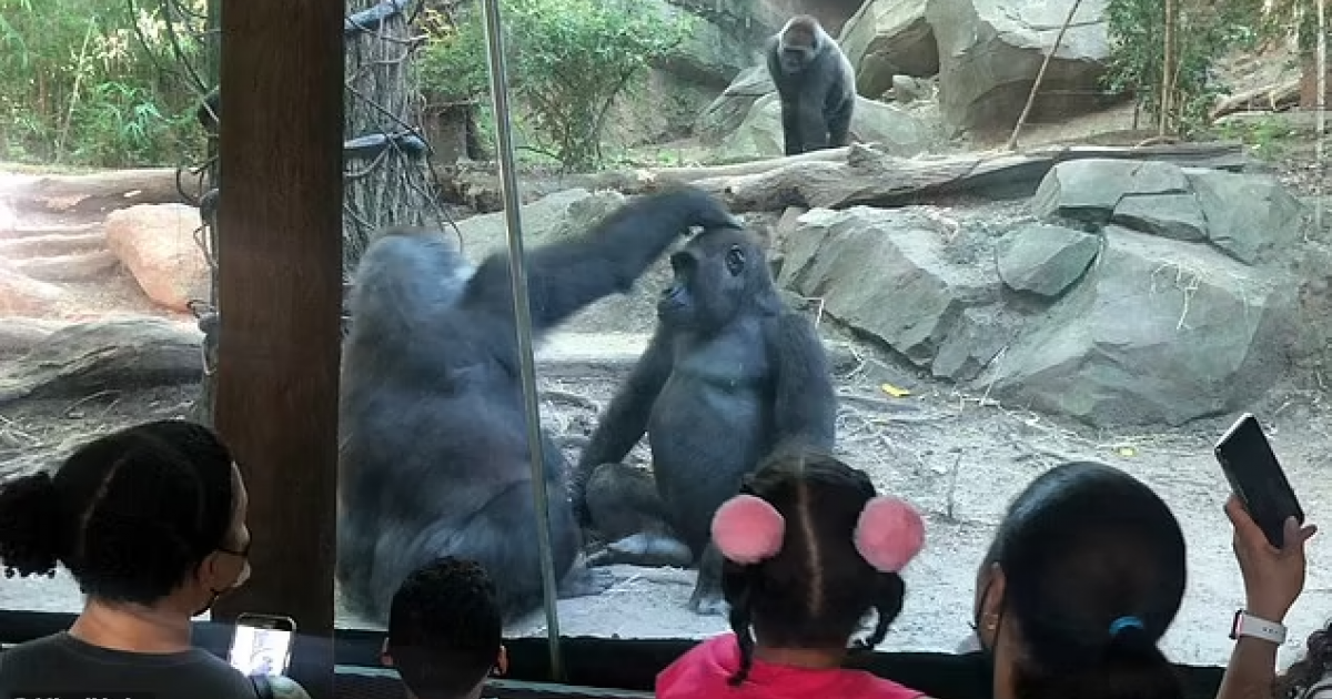 Awkward: Gorilla Oral Sex Leaves Families Speechless