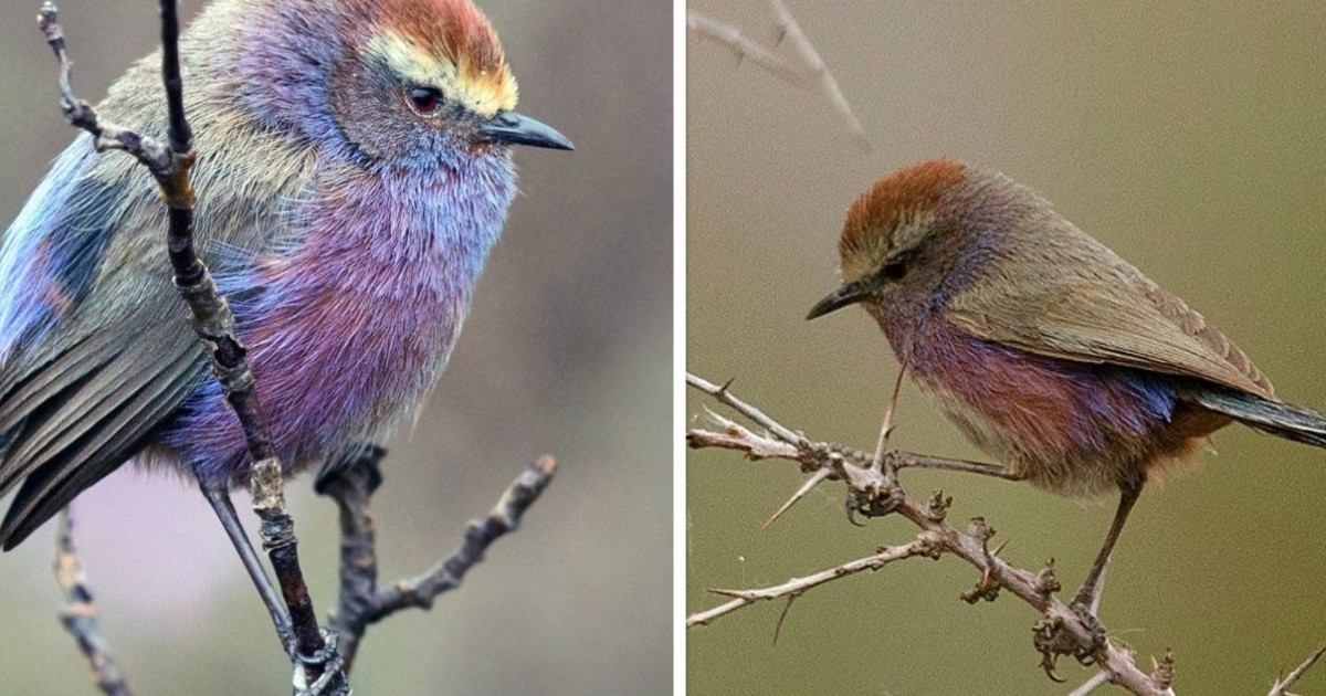This Rainbow Bird Is Called The White-Browed Tit-Warbler And That Might Be The Silliest Name You've Heard