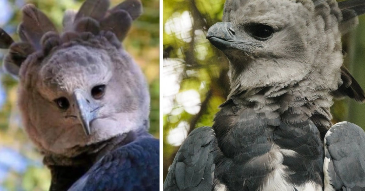 Harpy Eagles Are So Big They Look Like People In Costumes